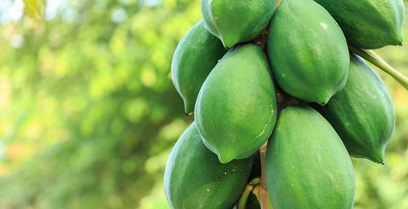 green-papaya on a tree