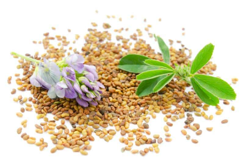 Alfalfa seeds, leaf and fresh alfalfa flowers isolated on a white background