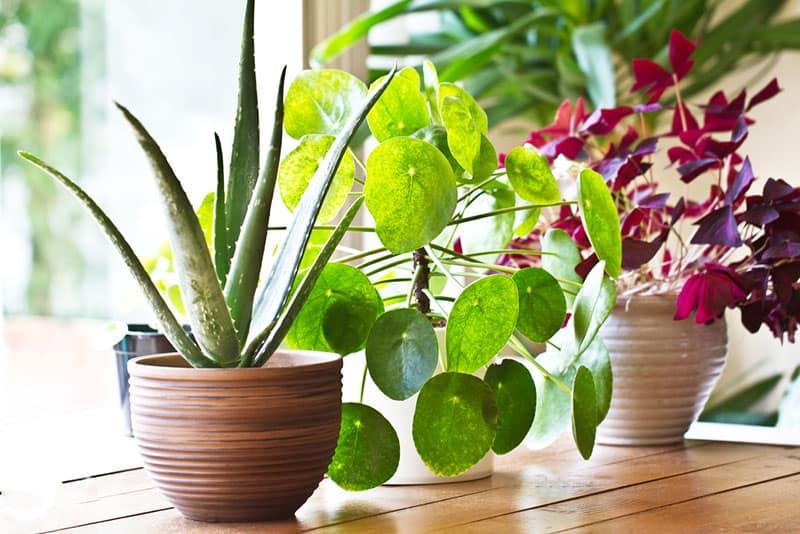 indoor plants in window