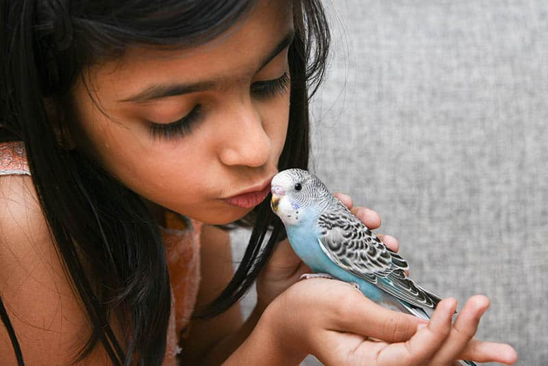 Young Indian girl / kid playing with blue pet love bird Budgie on her hand, Kerala India. Love animals and taking care of pets concept. Kissing a friend bird