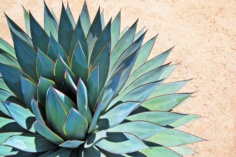 blue agave plant on arid soil