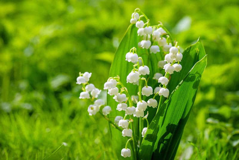 spring flower lily of the valley in the field