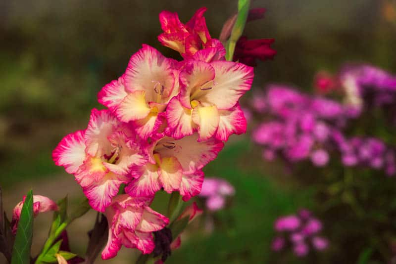 pink and yellow gladiolus flower in the garden