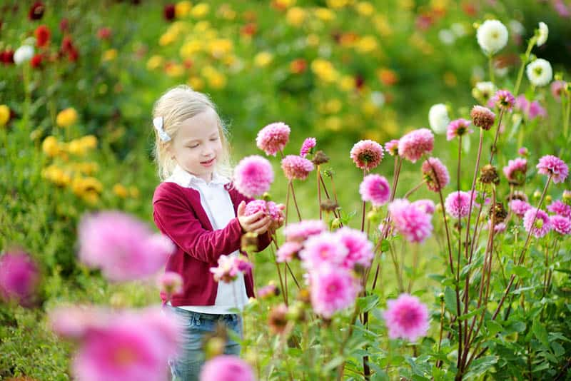 Cute little girl playing in blossoming dahlia field